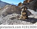 喜馬拉雅山區在印度唾液谷的Dankar村莊逗人喜愛的小狗和美麗的山 41913690