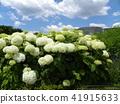 annabel, hydrangea, bloom 41915633
