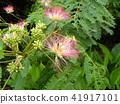 자귀 나무 꽃의 사진을 찍을 수있었습니다 41917101