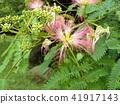 자귀 나무 꽃의 사진을 찍을 수있었습니다 41917143