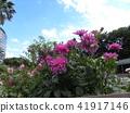 dahlia, dahlias, bloom 41917146