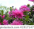 dahlia, dahlias, bloom 41917147