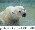 북극 곰 수영 41918500