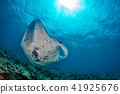 Manta in the blue ocean background portrait 41925676