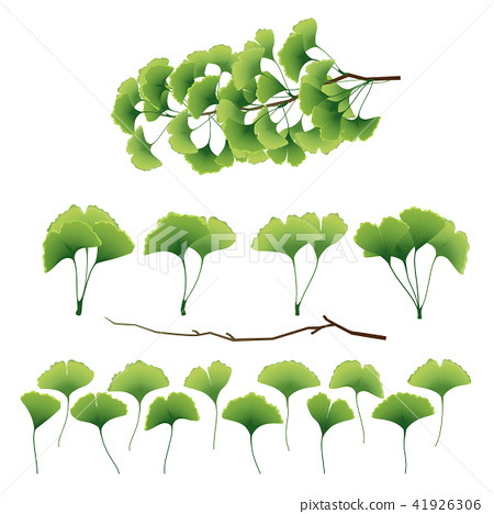 Ginkgo biloba leaves and branch collection. Vector illustration 41926306