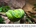 Green tree python Morelia Viridis macro 41931244