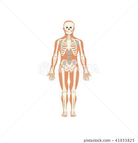 Human Skeletal System Anatomy Of Human Body Vector Illustration On
