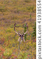 Barren Ground Caribou Bull 41938554