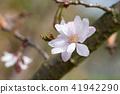 Higan cherry, Prunus subhirtella 41942290