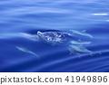 海豚 海洋 海 41949896