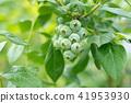 藍莓藍果(六月) 41953930
