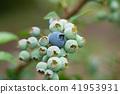 藍莓藍果(六月) 41953931