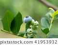 藍莓藍果(六月) 41953932