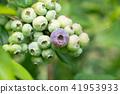 藍莓藍果(六月) 41953933
