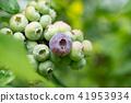 블루 베리 푸른 열매 (6 월) 41953934