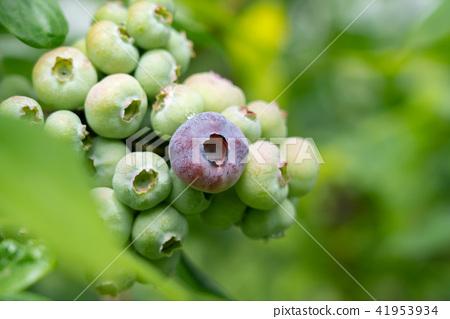 藍莓藍果(六月) 41953934