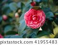 Pink Camellia flower on a bush  41955483