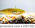 鯰魚 41961382