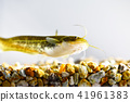 鯰魚 41961383