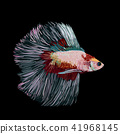Betta splendens, Siamese fighting fish. 41968145