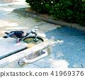 dove, drinking fountain, hot 41969376