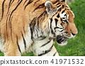 동물, 고양이과, 얼굴 41971532