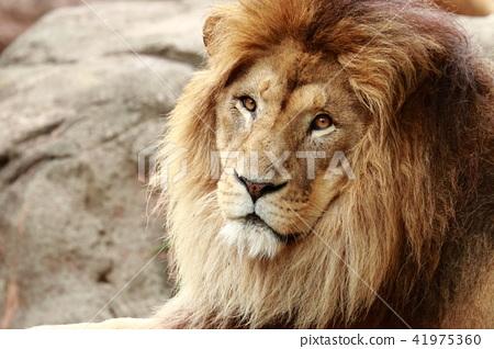 雄獅的臉 41975360