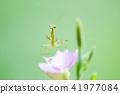螳螂和花② 41977084