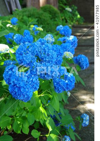 绣球花的绣球花 41977985