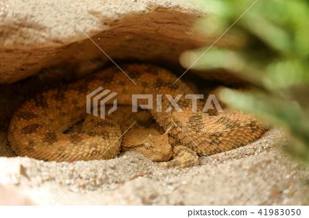 African horn viper under a crevice 41983050