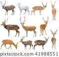deer isolated on white background 41988551