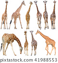 giraffe isolated on white background 41988553