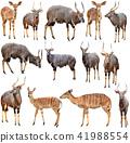 male and female nyala isolated 41988554
