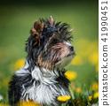 Biewer Yorkshire Terrier puppy 41990451