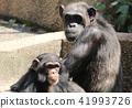 침팬지 침팬지의 부모와 자식 가족 부부 41993726