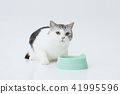 Cats eating food (Scottish fold) 41995596