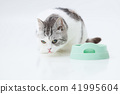 Cute cat waiting for food (Scottish fold) 41995604
