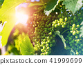 Bunch of white grapes growing at the vineyard 41999699