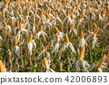 Corn field in sunny day - nature background 42006893