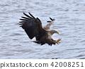 白尾海雕 鳥兒 鳥 42008251
