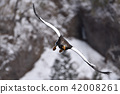 虎头海雕 鸟儿 鸟 42008261