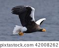 虎头海雕 鸟儿 鸟 42008262