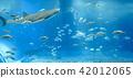 鯨鯊 水族館 鯊魚 42012065