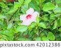 히비스커스 꽃 42012386