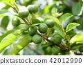 柑橘常春藤的藍色果子 42012999