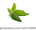 Nan Fui Chao herbal leaves on white background 42014068