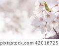 후지타 강의 벚꽃길 42016725
