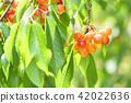 櫻桃在樹上 42022636