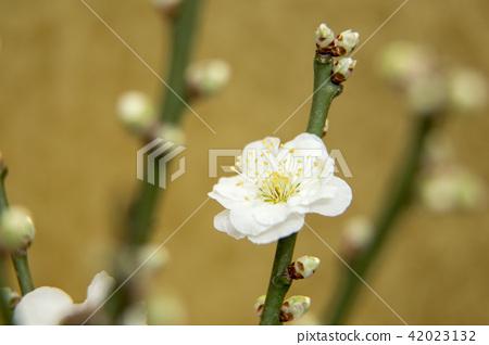 White plum 42023132