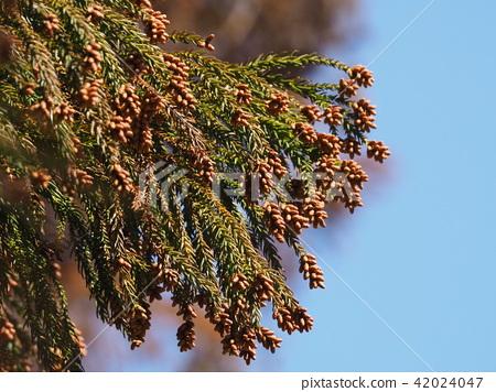삼나무 꽃 42024047